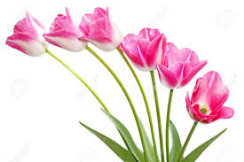 Images Of Tulip Flowers - fresh pink tulip flowers isolated on white stock photo picture
