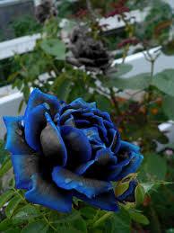 real black roses parece juego de palabras black blue hallazgos