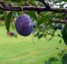 almost wordless wednesday purple plum tree ww