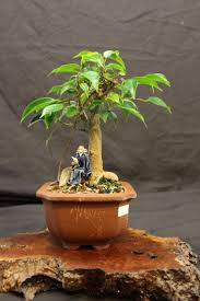 43 best bonsai images on pinterest bonsai trees flower market ficus bonsai tree in a ceramic bonsai pot with mud theflowermkt