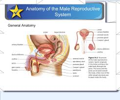 The Anatomy Of The Male Reproductive System Reproduction Topics The Human Male Reproductive System The Human