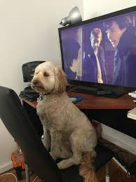cockapoo vs bichon frise our cavoodle making a stand against us watching sherlock again