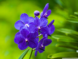 blue orchids blue orchids 4k hd desktop wallpaper for 4k ultra hd tv