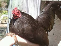 best backyard chicken which breed is best for backyard poultry 盪 4 h in the panhandle