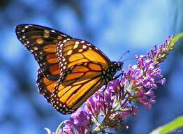 for forums url http www imgion com beautiful butterfly on flower