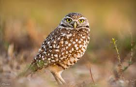the little owl athene noctua in human culture and sains u2014 steemit