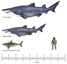 monster shark once trolled the mesozoic seas