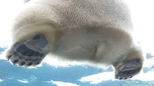 polar bear aww