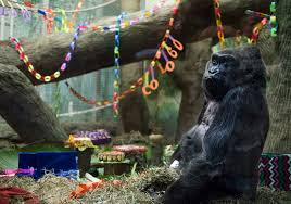 columbus oh happy birthday to colo oldest gorilla in us turns 60