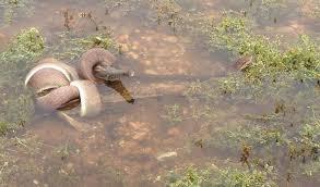 film ular phyton snake eats a crocodile in epic battle crocodile snake and animal