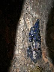 gooty sapphire poecilotheria metallica care sheet keeping