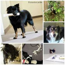 australian shepherd ugly stage patti dipanfilo florida health care news