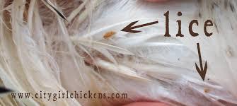 Will Lice Treatment Ruin Hair Color Chicken Lice City Farming