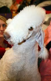 feeding a bedlington terrier how to stop a dog shedding