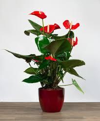 anthurium plant tropical tropical plants indoor plants