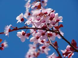 free photo almond blossom cherry blossom free image on pixabay