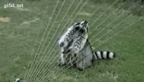 Racoon Meme - raccoon meme gif gifs show more gifs