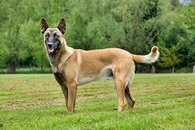 cost of a belgian sheepdog belgian animal stock photos kimballstock