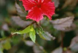 What Is The Meaning Of The Hibiscus Flower - what type of root does a hibiscus have home guides sf gate