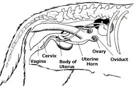 Anatomy Of Reproductive System Female Anatomy And Function Of The Reproductive System In Dogs