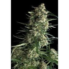northern lights yield indoor pyramid seeds feminised