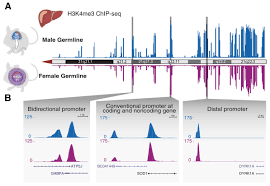 successful transmission and transcriptional deployment of a human