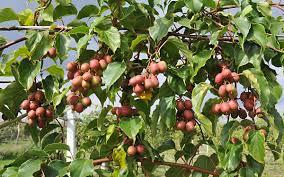 kostrzewa mini kiwi kiwiberry english