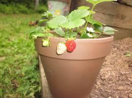 exteriors marvelous large strawberry pots large strawberry