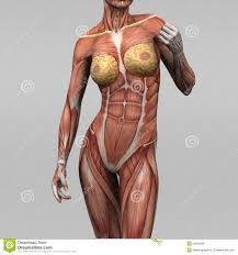 Female Abdominal Anatomy Pictures Female Human Anatomy Pictures Te 1032 Abdominal Anatomy Female