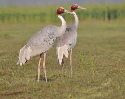 spotting the sarus crane in kampot hanuman hanuman