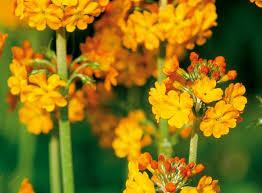 plant tall flowering perennial plants yellow flowers