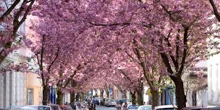 germany u0027s cherry blossom season totally beats yours huffpost