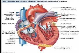 Diagram Heart Anatomy Heart Anatomy Blood Flow Diagram Blood Flow Through The Heart