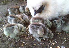 silkie breeding genetics u0026 showing page 544 backyard chickens