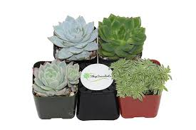 Amazon Succulents Amazon Com Shop Succulents Blue Green Succulent Collection Of 4