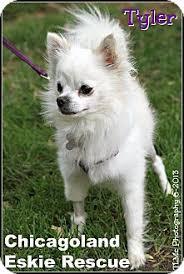 american eskimo dog breeders new england elmhurst il chihuahua american eskimo dog mix meet tyler a dog