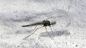 Tiny Flying Insects In House by Easy Homemade Diy Traps To Get Rid Of Gnats And Fruit Flies