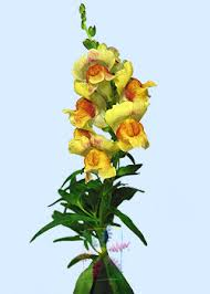 snapdragon flowers snapdragon flower information snapdragon cut flower flower