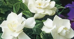 gardenia flower bloomiq