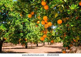 orange tree stock images royalty free images vectors