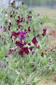 66 best sweet pea images on pinterest sweet peas flowers and