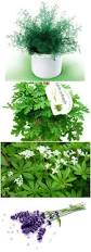plants that keep mosquitoes away 12 natural mosquito repellent plants 1001 gardens