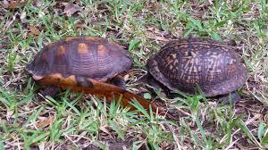 2 box turtles fighting part 2 youtube