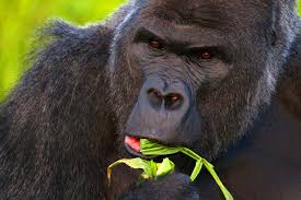 western lowland gorilla genome mapped with new level of accuracy