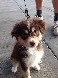 australian shepherd weight 118 best my dog images on pinterest animals dogs and aussie puppies