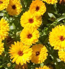 Calendula Flowers How To Grow Calendula From Seed