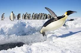emperor penguin aptenodytes forsteri animals a z animals