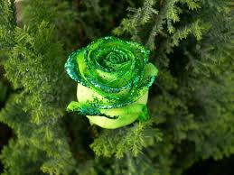 Beatuful Cliserpudo Beautiful Green Rose Wallpaper Images