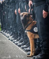 belgian malinois k9 attack diesel the dog photographed before she was killed by isis paris