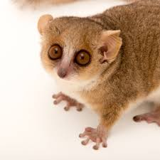 mouse lemurs national geographic